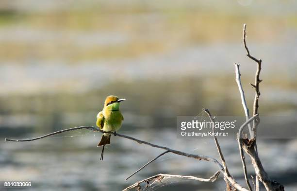 Blue bearded bee eater sitting on a twig near pench river