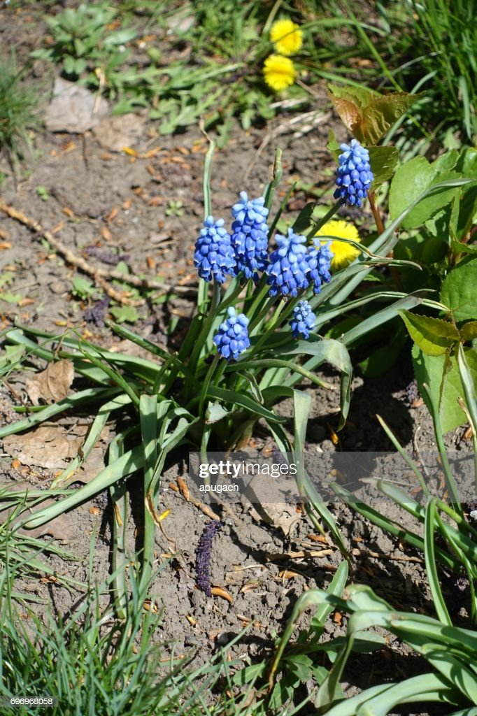 Blue bell shaped flowers with a white fringe stock photo getty images blue bell shaped flowers with a white fringe stock photo mightylinksfo Gallery