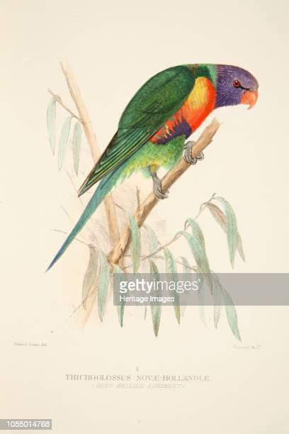 Blue Bellied Lorikeet from The Birds of Australia pub 1916 Trichoglossus NovaeHollandiae Artist Roland Green