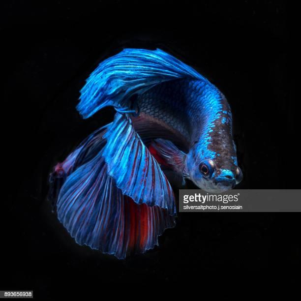 blue beta fish 2 - 熱帯魚 ストックフォトと画像