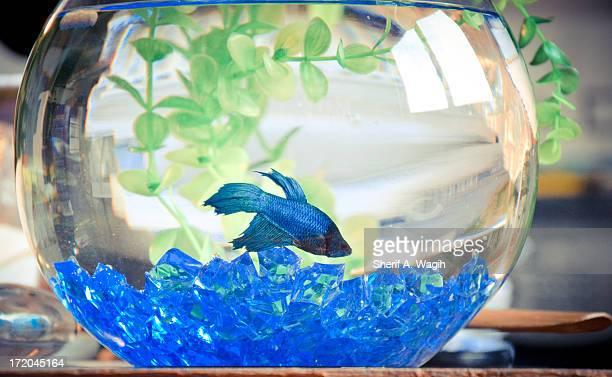 Blue betta splendor fighter fish in bowl