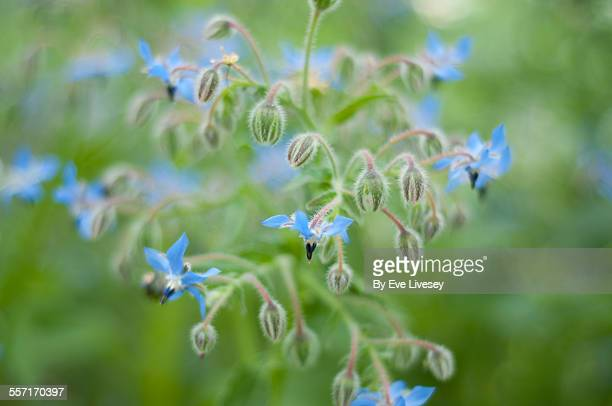 blue borage flowers in bloom - flowering plant stock pictures, royalty-free photos & images