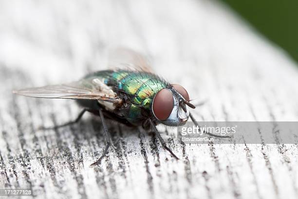 blue bottle fly close-up