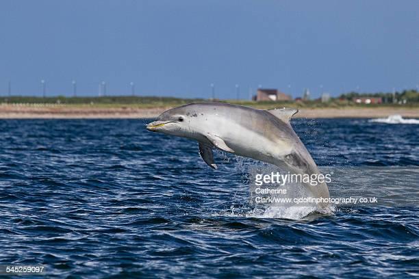 blue bottlenose dolphin breach - モーレイ湾 ストックフォトと画像
