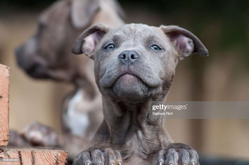Blue Brindle Blueeyed Pit Bull Terrier Puppy Looking At