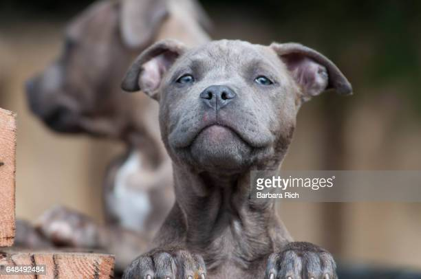 blue brindle blue-eyed pit bull terrier puppy looking at camera with goofy look - pit bull terrier stock pictures, royalty-free photos & images