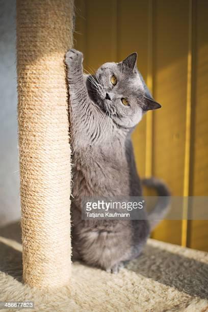 Blue British Shorthair Cat scratching