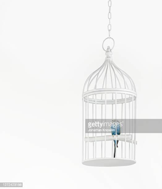 blue budgerigar in cage - 鳥篭 ストックフォトと画像