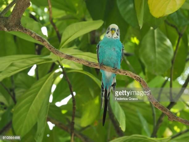 blue budgerigar (melopsittacus undulatus), long-tailed parakeet - パラキート ストックフォトと画像