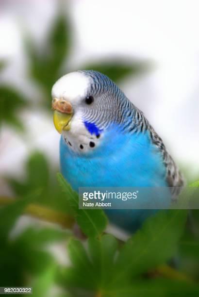 blue budgie - パラキート ストックフォトと画像
