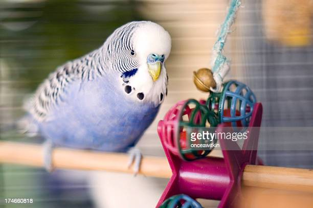 Blue budgie with toy