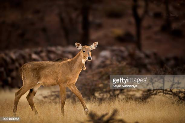 blue bull or nilgai - nilgai stock photos and pictures