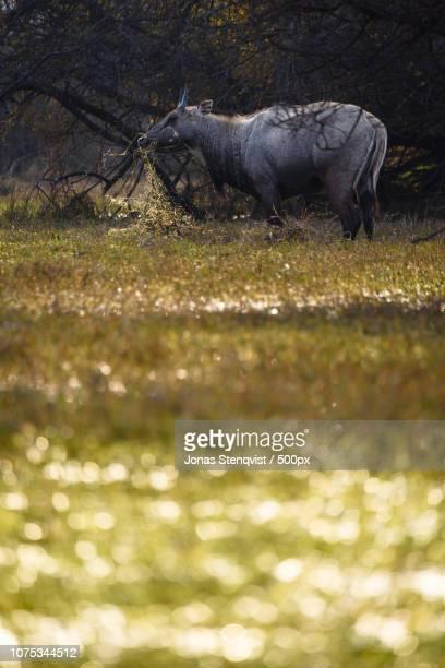 blue bull (nilgai) - nilgai fotografías e imágenes de stock