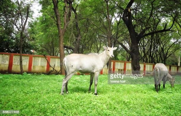 blue bull/nilgai-asian antelope in ahmedabad,gujarat - nilgai fotografías e imágenes de stock