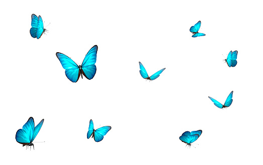 blue butterfly isolated on white back ground 1133607551
