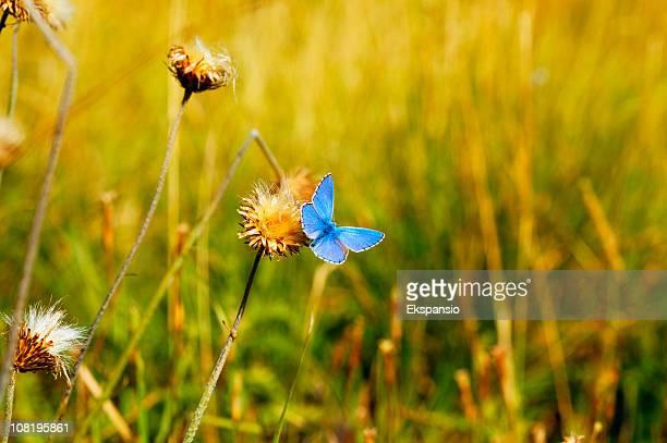Blue Butterfly Landing on Flower in Field