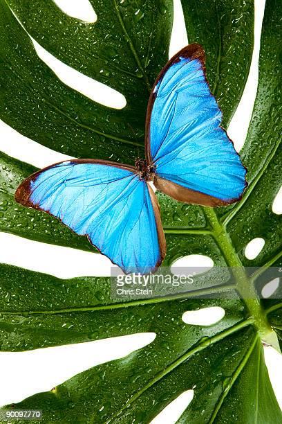 Blue Butterfly on palm leaf