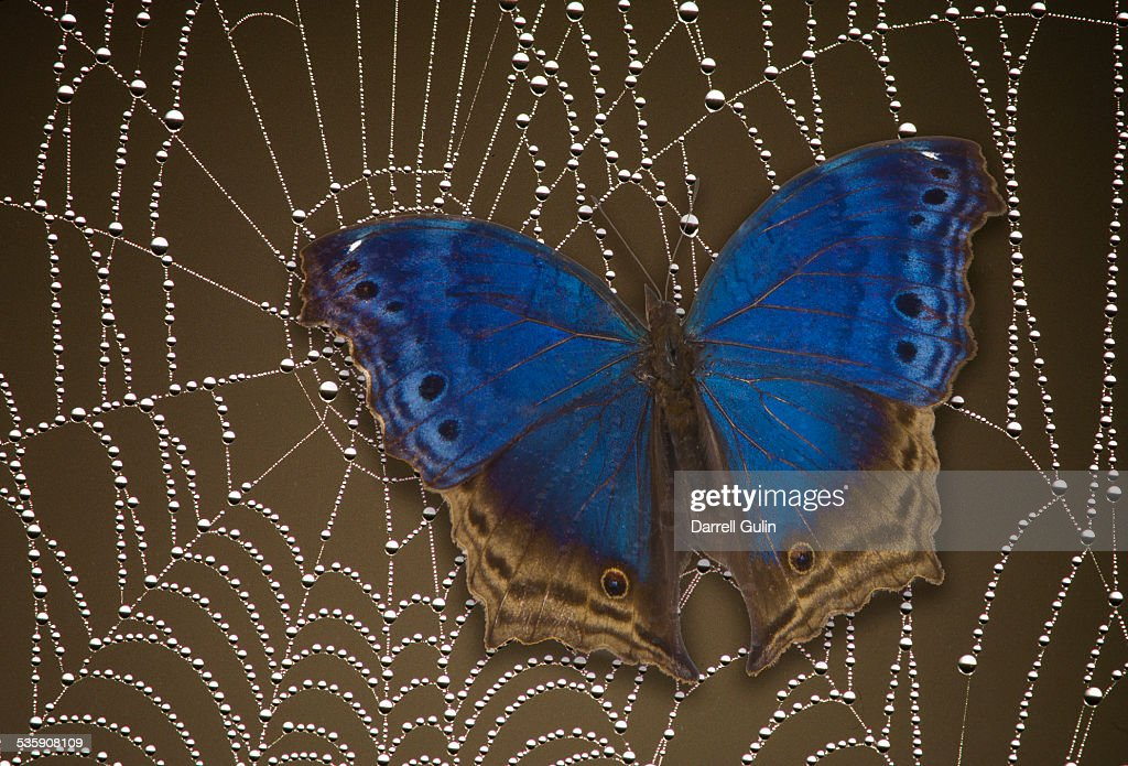 Blue butterfly salamis temora caught in spider web : Stock Photo