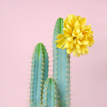 Blue cacti with yellow flower - gettyimageskorea