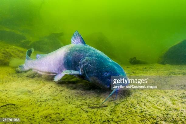 A blue catfish swimming along the bottom of a quarry in Kansas.