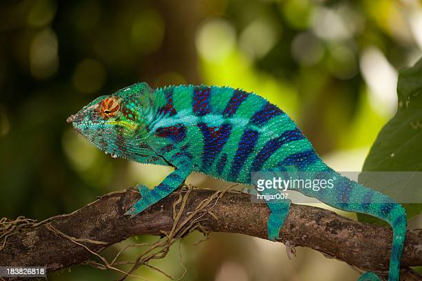 blue chameleon in a tree - madagascar stock photos and pictures