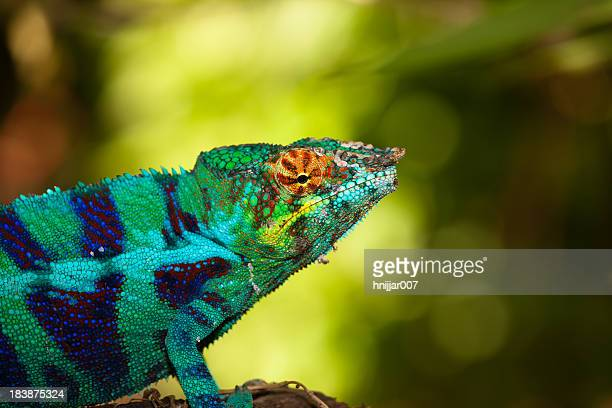 blue chameleon - east african chameleon stock pictures, royalty-free photos & images