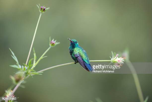 Blue chinned sapphire hummingbird.