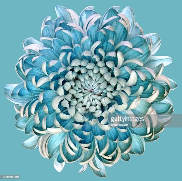 blue chrysanth - chrysanthemum fotografías e imágenes de stock
