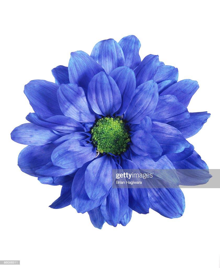 Blue chrysanthemum : ストックフォト