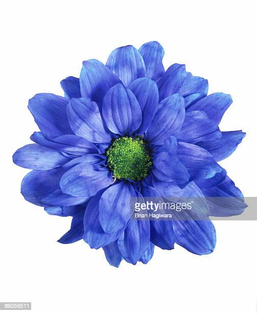 blue chrysanthemum - blumen stock-fotos und bilder
