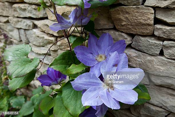 Blue clematis climbing shrub in English cottage garden in Swinbrook in The Cotswolds Oxfordshire UK