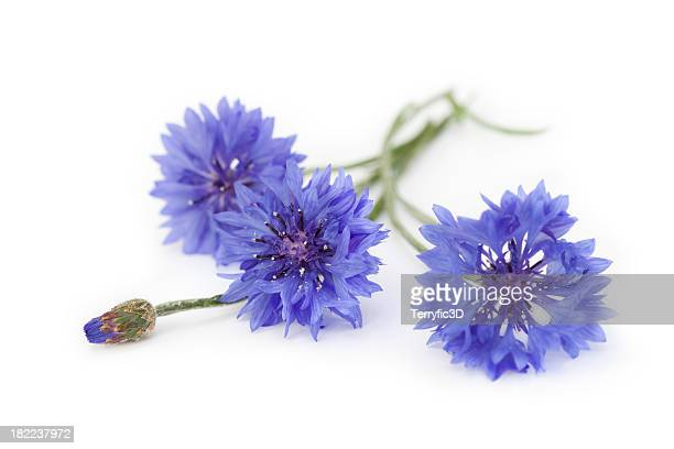 blue cornflower bouquet, wildflowers - wildflower stock pictures, royalty-free photos & images