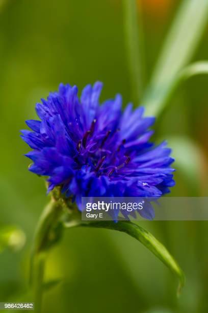 blue cornflower - %e... ストックフォトと画像