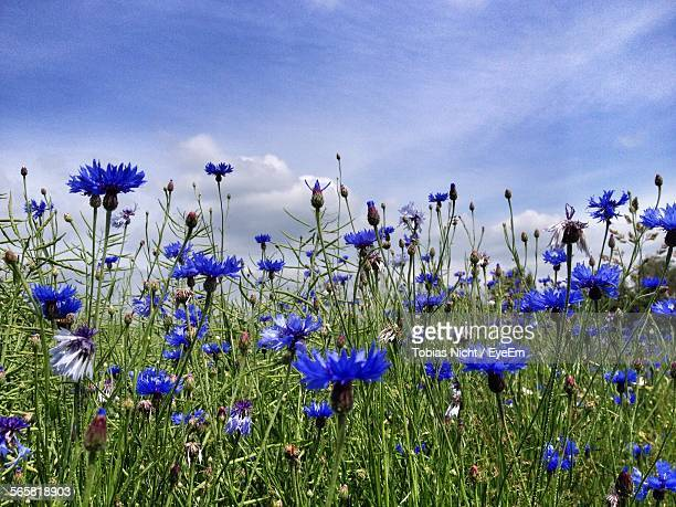 Blue Cornflowers In Field