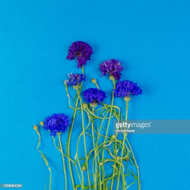 blue cornflowers - emma baker stock pictures, royalty-free photos & images