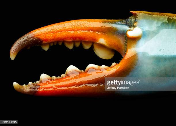 blue crab claw, detail - blue crab stock photos and pictures
