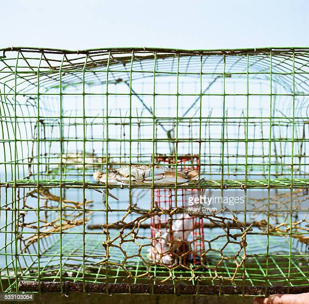 blue crab in trap - crab pot stock photos and pictures