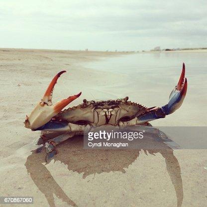 Blue Crab on a Beach