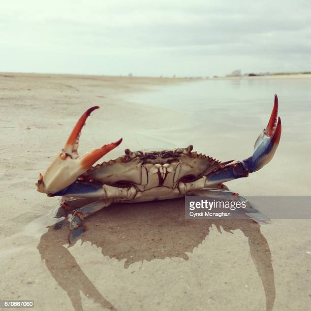 blue crab on a beach - blue crab stock photos and pictures