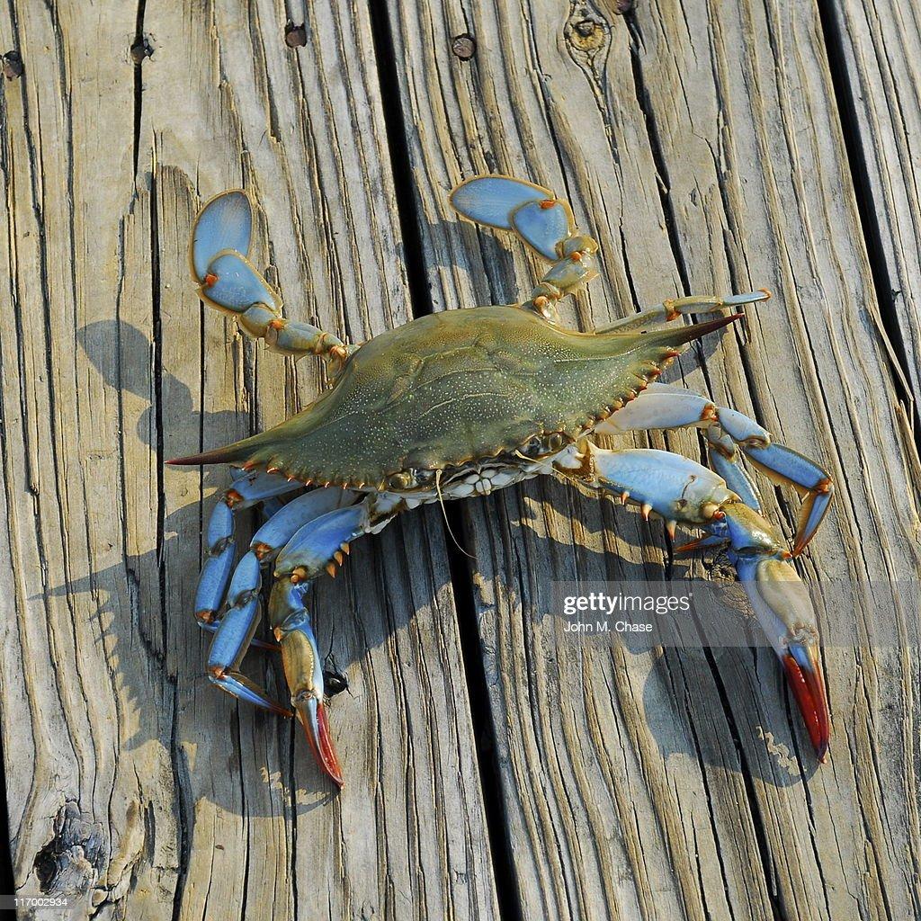 Blue Crab : Stock Photo