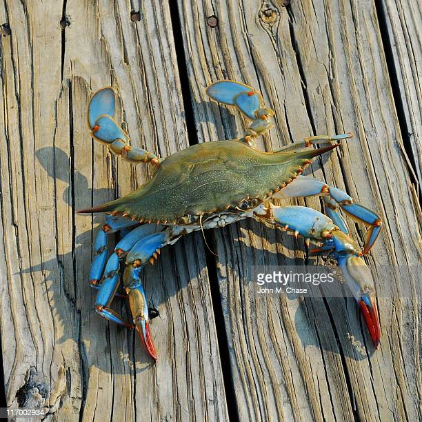 blue crab - chesapeake bay stock pictures, royalty-free photos & images