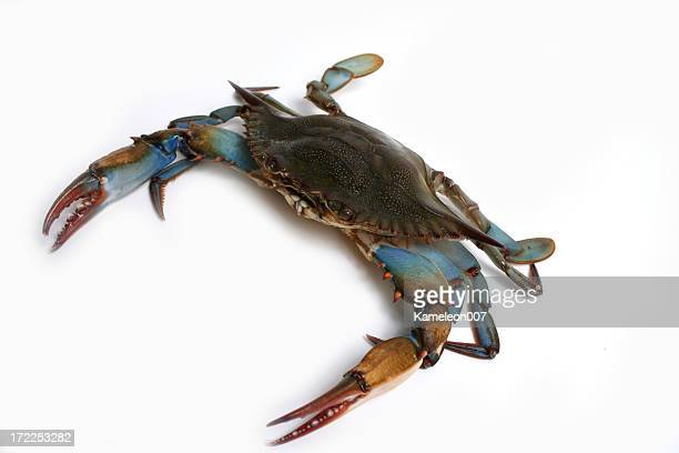 blue crab - blue crab stock photos and pictures