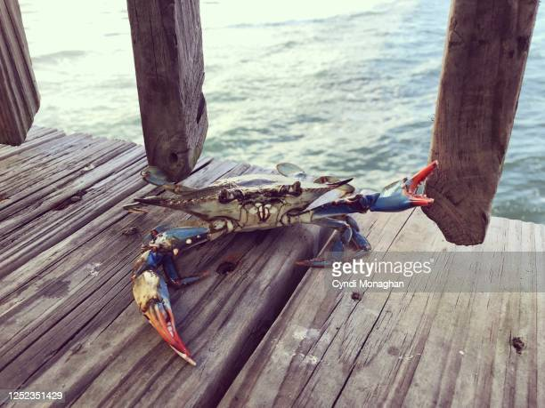 blue crab waving his claws on a pier - blue crab stock pictures, royalty-free photos & images