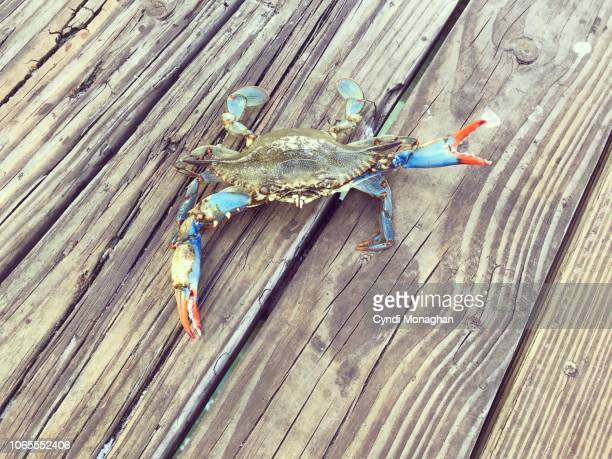 blue crab with colorful red claws - blue crab stock pictures, royalty-free photos & images
