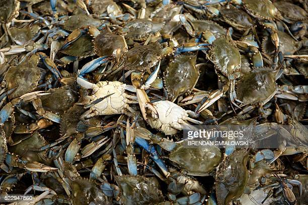 Blue Crabs are seen at the Maine Avenue Fish Market along the Potomac River on April 21 in Washington DC The market has been in continuous operation...