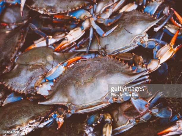 blue crabs - blue crab stock photos and pictures