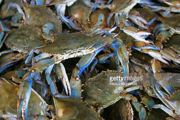 Blue Crabs wait in a bin 21 March 2005 at the Maine Avenue Fish Market in Washington DC Wellknown symbols of the Chesapeake blue crabs support one of...