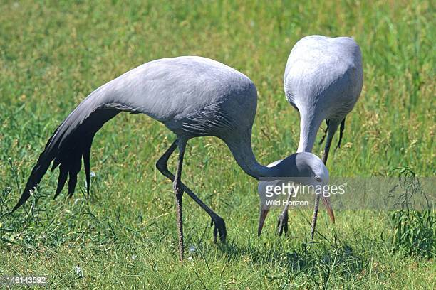 Blue cranes foraging Anthropoides paradiseus previously known as Ardea paradisea This Threatened species is endemic to southern Africa with...