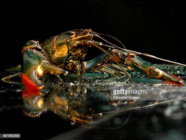 Blue Crayfish Procambarus alleni also called a Blue Lobster