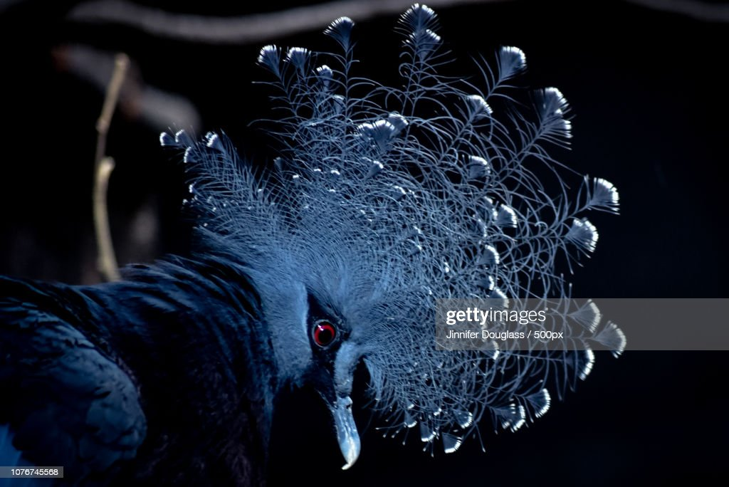 Blue Crowned Pigeon : Stock Photo